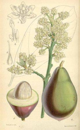 Abacate (Persea amercana)