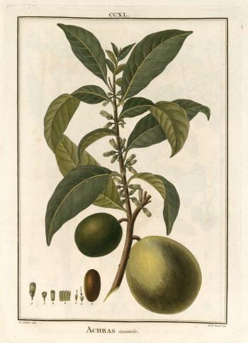 Abiu (Pouteria caimito)