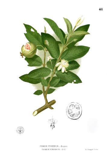 Ilustração botânica de um ramo de goiaba