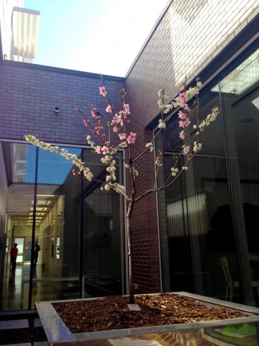 Árvore de 40 frutos com flores coloridas na primavera em um museu-hotel em Bentonville, Arkansas, Estados Unidos