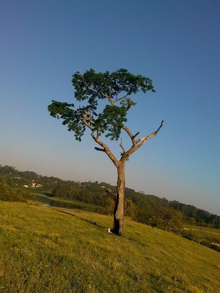 Pau-brasil no Parque dos Búfalos