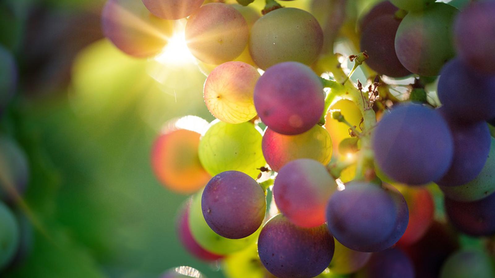 Agua De Uva Passa Para Emagrecer uva, a fruta que emagrece e reanima - namu