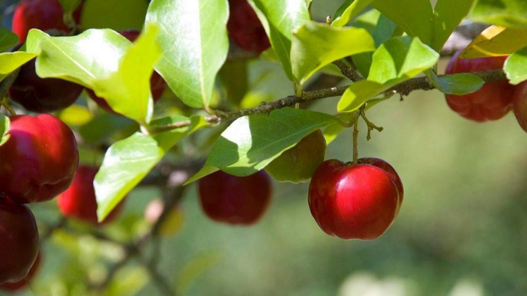 cerola é uma das frutas contra o envelhecimento