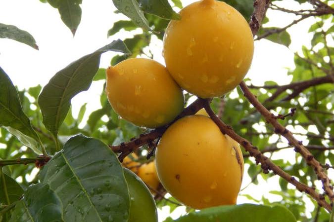 fruta da estação abiu
