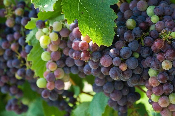 frutas da estação uva